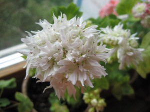 Pelargonia Vectis Snow